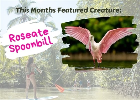 This months featured creature: Roseate Spoonbill
