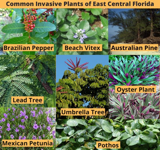 Common Invasive Plants of East Central Florida